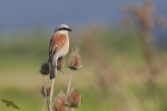Red-backed Shrike/Lanius collurio - Photographer: Georgi Slavov