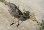 Black Redstart/Phoenicurus ochruros - Photographer: Атанас Атанасов