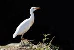 Семейство Чаплови, Биволска чапла/Bubulcus ibis
