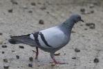 Rock Pigeon/Columba livia var domestica, Family Pigeons, Doves