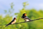 Family Swallows, Martins, Barn Swallow/Hirundo rustica - Photographer: Димитър Неделчев