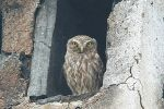 Little Owl/Athene noctua - Photographer: Младен Василев