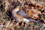 Eurasian Sparrowhawk/Accipiter nisus - Photographer: Sergey Panayotov