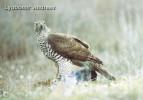 Northern Goshawk/Accipiter gentilis - Photographer: Любомир Андреев - Лу_пи