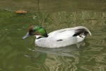 Family Waterfowl, Falcated Duck/Anas falcata