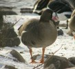Family Waterfowl, Lesser White-fronted Goose/Anser erythropus - Photographer: Ники Петков