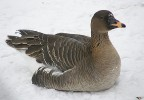 Bean Goose/Anser serrirostris - Photographer: Ники Петков