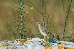 Tawny Pipit/Anthus campestris - Photographer: Ивайло Филипов
