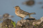 Family Pipits, Wagtails, Red-throated Pipit/Anthus cervinus