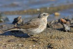 Family Pipits, Wagtails, Water Pipit/Anthus spinoletta