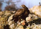 Golden Eagle/Aquila chrysaetos - Photographer: Любомир Андреев - Лу_пи