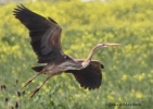 Purple Heron/Ardea purpurea - Photographer: Qenan Maxhuni