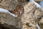 Little Owl/Athene noctua - Photographer: Тихомир Петков