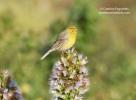 Atlantic Canary/Serinus canaria, Family Finches