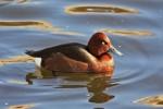 Ferruginous Duck/Aythya nyroca - Photographer: Ники Петков