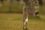 Indian Pond-Heron/Ardeola grayii, Family Herons, Bitterns