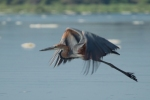 Goliath Heron/Ardea goliath, Family Herons, Bitterns