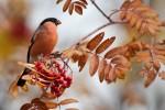 Eurasian Bullfinch/Pyrrhula pyrrhula - Photographer: Богдан Боев