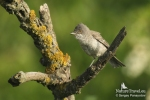 Family Warblers , Barred Warbler/Sylvia nisoria