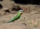 Blue-cheeked Bee-eater/Merops persicus - Photographer: Pavel Simeonov