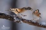 Brambling/Fringilla montifringilla, Family Finches