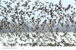 Red-breasted Goose/Branta ruficollis - Photographer: Sergey Panayotov