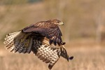 Common Buzzard/Buteo buteo - Photographer: Пьотър Шпаковски