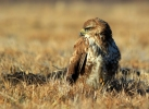 Common Buzzard/Buteo buteo - Photographer: Georgi Slavov