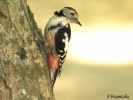 Middle Spotted Woodpecker/Dendrocopos medius - Photographer: Велизара Нашкова