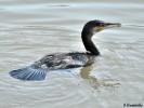 Great Cormorant/Phalacrocorax carbo - Photographer: Велизара Нашкова
