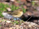 Common Chiffchaff/Phylloscopus collybita - Photographer: Велизара Нашкова