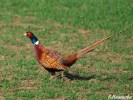 Common Pheasant/Phasianus colchicus - Photographer: Велизара Нашкова