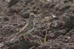 Family Larks, Greater Short-toed Lark/Calandrella brachydactyla - Photographer: Борис Белчев