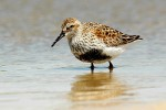 Dunlin/Calidris alpina - Photographer: Тео Тодоров