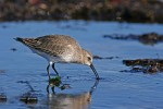 Dunlin/Calidris alpina - Photographer: Даниел Митев