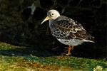 Purple Sandpiper/Calidris maritima - Photographer: Тео Тодоров