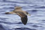 Cory's Shearwater/Calonectris diomedea - Photographer: Чавдар Гечев