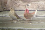 Family Finches, Common Rosefinch/Carpodacus erythrinus