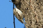 Family Wallcreepers, Short-toed Tree-creeper/Certhia brachydactyla - Photographer: Младен Василев