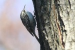 Family Wallcreepers, Eurasian Tree-creeper/Certhia familiaris