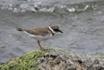 Little Ringed Plover/Charadrius dubius, Family Plovers