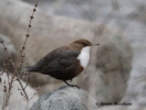 White-throated Dipper/Cinclus cinclus, Family Dippers