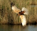 Western Marsh-harrier/Circus aeruginosus - Photographer: Чавдар Гечев