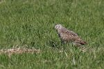 Family Hawks, Northern Harrier/Circus cyaneus