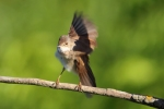 Common Whitethroat/Sylvia communis - Photographer: Sergey Panayotov