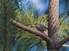 Family Nuthatches, Corsican Nuthatch/Sitta whiteheadi