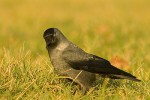 Family Crows, Eurasian Jackdaw/Corvus monedula
