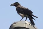 Hooded Crow/Corvus cornix, Family Crows
