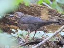 Family Thrushes, Eurasian Blackbird/Turdus merula - Photographer: Петър Петров
