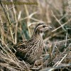 Common Quail/Coturnix coturnix - Photographer: Валентин Почекански